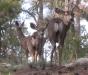deer-in-pines